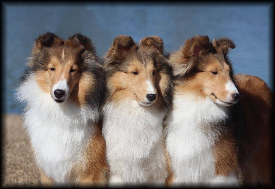 Southwinds Shelties - Northwoods Animal Hospital Cary NC